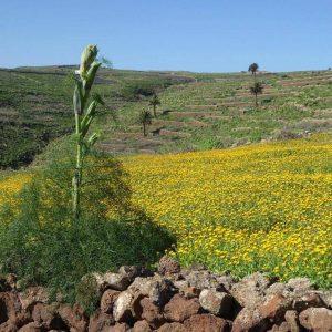 Blühender Fenchel Lanzarote