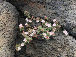 Blüten im März Lanzarote